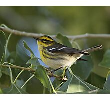 Townsend's Warbler Photographic Print