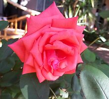 Anniversary rose by Maree  Clarkson