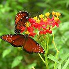 Queen Butterflies at Work  141 Views by Rosalie Scanlon