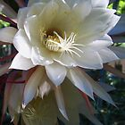 Two Epiphyllum Blossoms by jsmusic