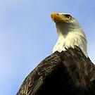Bald Eagle  by lanebrain photography