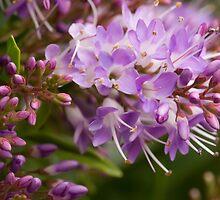Purple Hebe by Vickie Burt