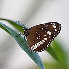Common Crow Butterfly II by Kelly Robinson