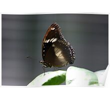 Common Crow Butterfly on the Edge Poster