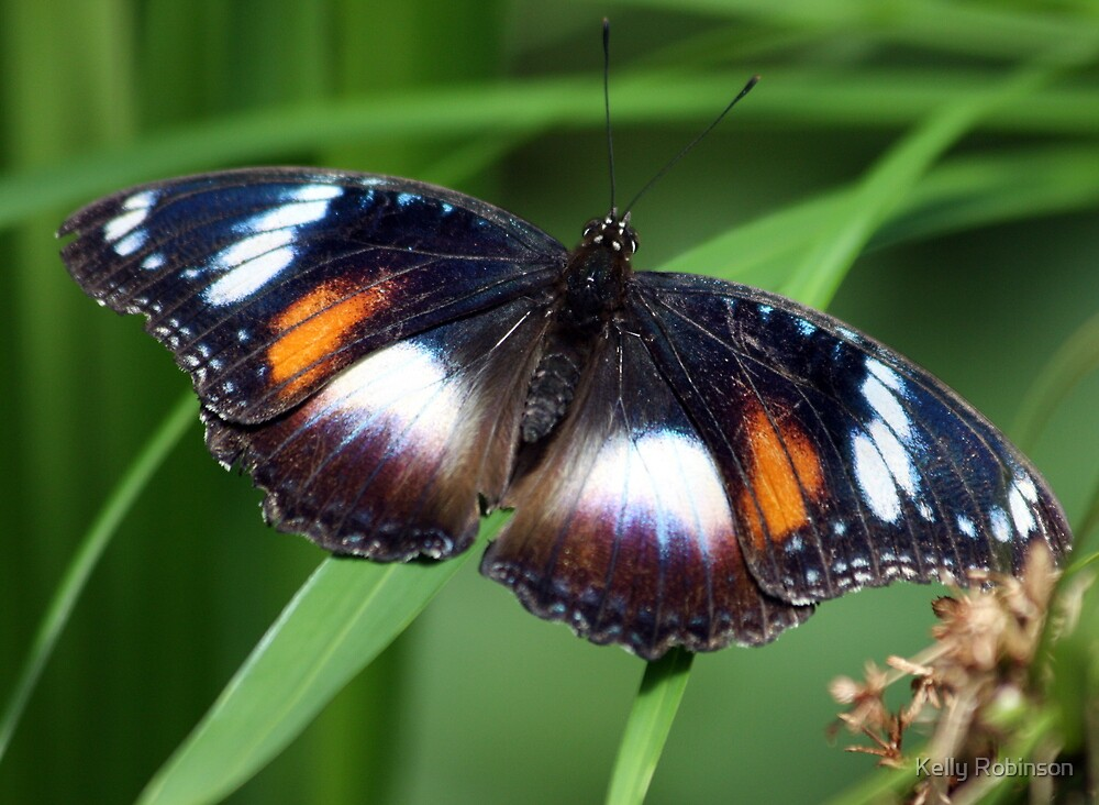 Varied Eggfly Butterfly by Kelly Robinson