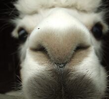 Llama Nose by Nobleone