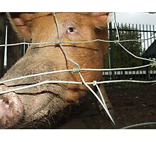 Pig in a poke Photographic Print