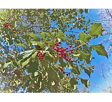 Summer Holly Photographic Print