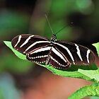 Zebra Longwing by Jeff Ore