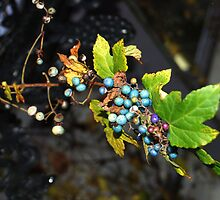 Wild grapes by Diane  Kramer