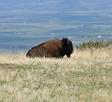 Buffalo by Larry Stolle