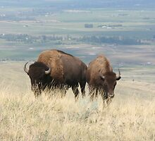 Two bison    by Larry Stolle