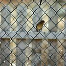 Birds in the fence by David  Postgate