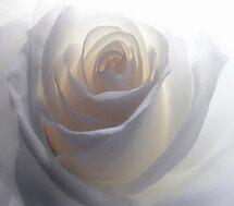 Soft White by Gisele Bedard
