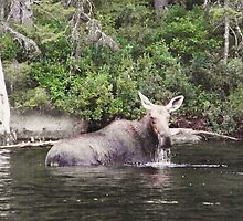A female moose eating in Lake Millinocket. by William Brennan