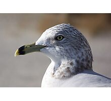 A ring-billed gull giving me the eye. Photographic Print