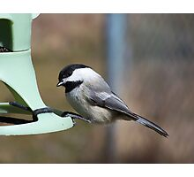 A Black-Capped Chickadee looking for lunch. Photographic Print
