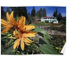 Shy Sunflower Poster