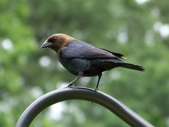 A Brown-Headed Cowbird. by William Brennan