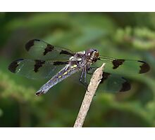 A twelve spotted skimmer?  Photographic Print