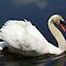 Beautiful Mute Swan darting off to chase a goose. by William Brennan