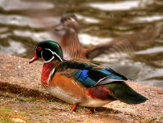 Male Wood Duck by Larry Trupp