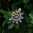 Passion Flower by Namaste