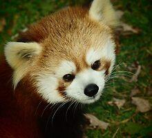 red panda by Brock Hunter