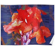 Orangey-red canna lily Poster