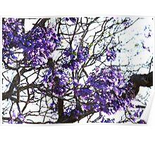 Jacaranda Blooms Poster