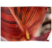 Varigated Canna Lily Leaves Poster