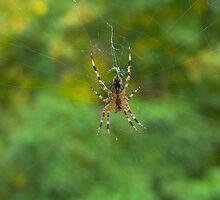 Garden Spider by Rowan  Lewgalon