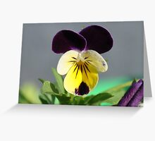 Miniture African Daisy Greeting Card