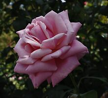 Pink Rose in Arlington Cemetery by AnnDixon