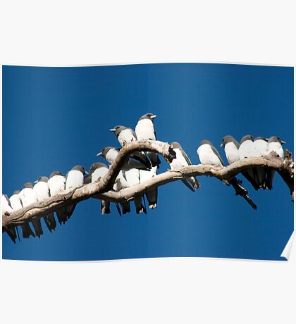 White-breasted Woodswallows - family gathering -Airlie Beach Poster