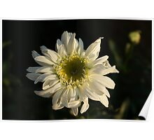 Twighlight daisy Poster