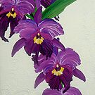 Purple Orchids by Juan Alcantara