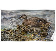 Mother duck & ducklings Poster