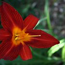 Vibrant Red by Ghelly