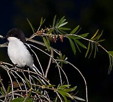 Common Fiscal Shrike by RatManDude