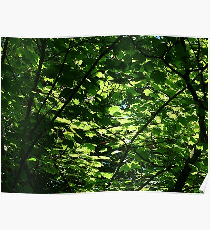 Sunlight Through Sycamore Leaves Poster