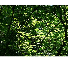 Sunlight Through Sycamore Leaves Photographic Print