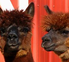 Alpaca Look A Like by swaby