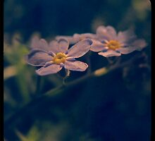 * forget-me-not * by MelAncholyPhoto
