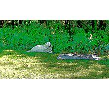 White dog in shade Photographic Print