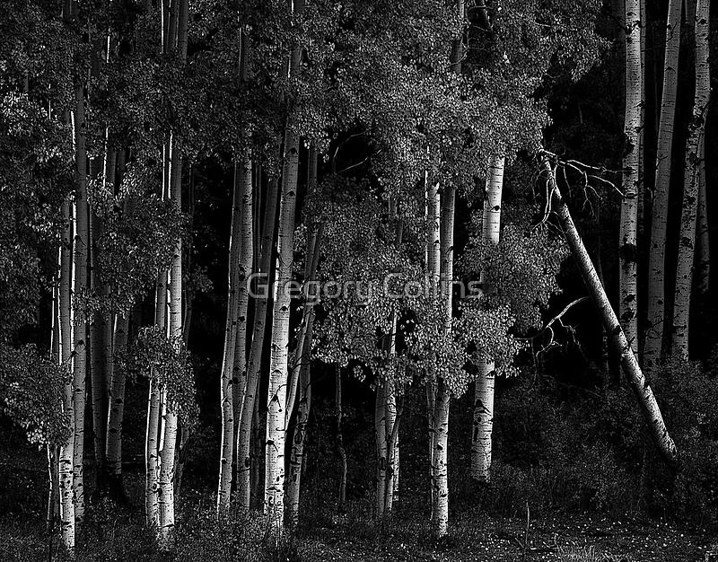 Aspens at Fading Light by Gregory Collins