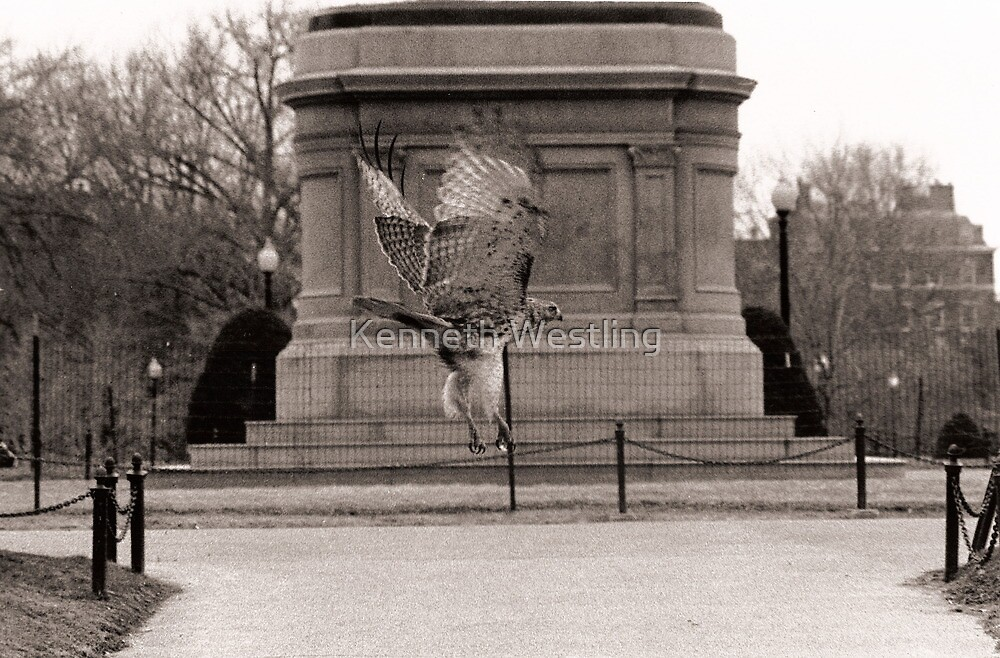Hawk in the Boston Common by Kenneth Westling