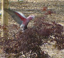 The Galah Has Landed by Gary Kelly