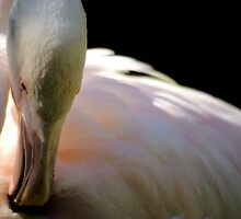 Flamingo Preening by Tamara  Kenneally
