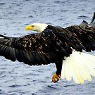 Descent ~ Bald Eagle  by lanebrain photography